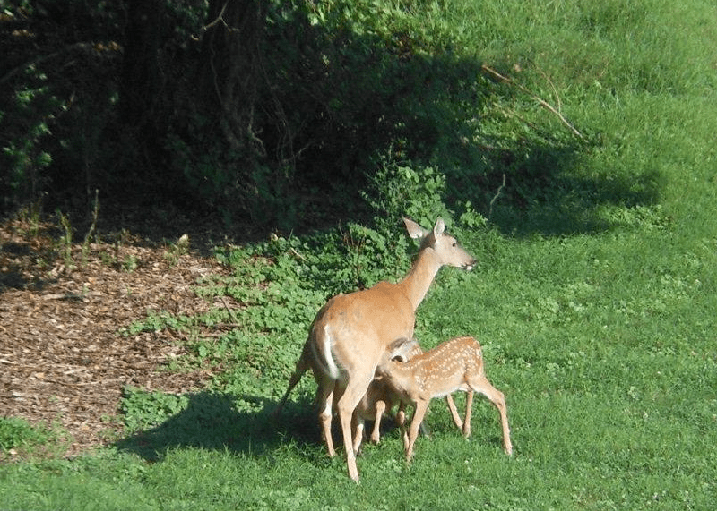 deer and fawn on campus