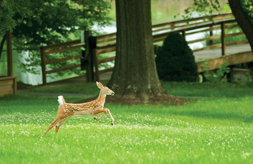 fawn on campus