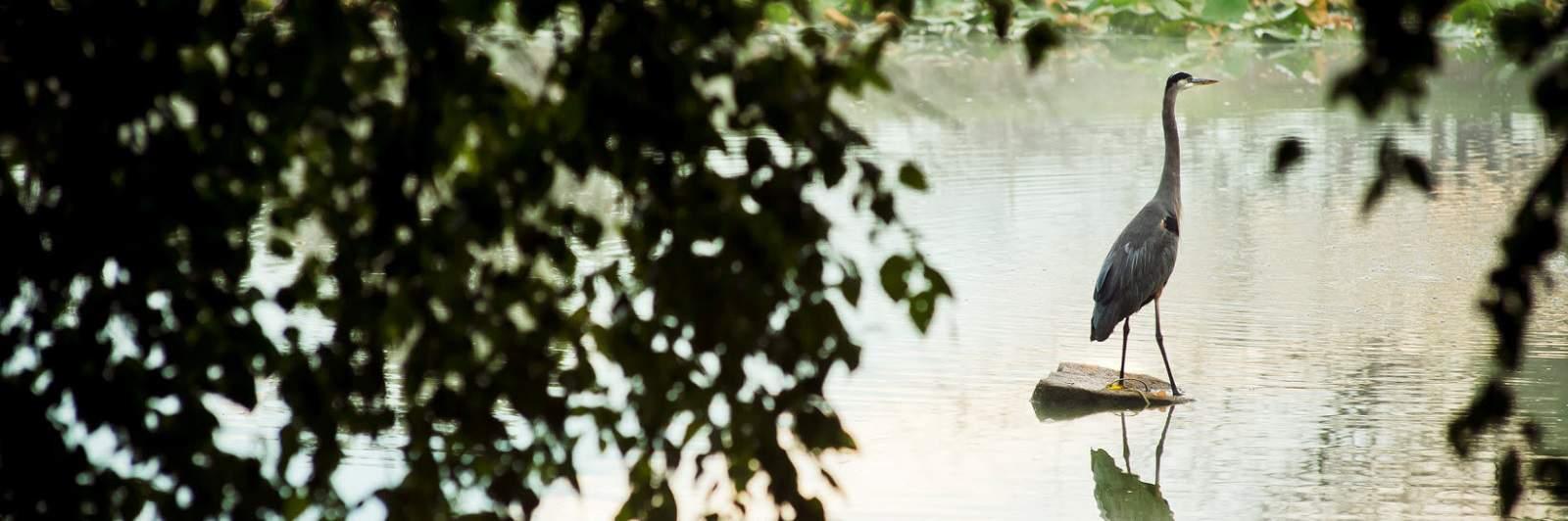 Blue Heron on community pond