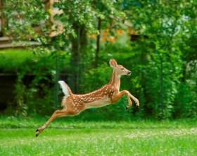 Gaithersburg deer